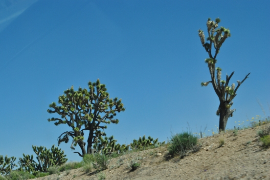 For reference, a Joshua Tree.